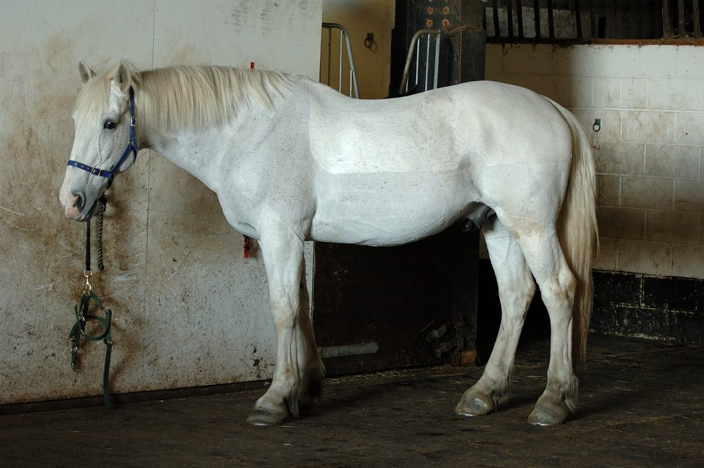 Trimmed horse